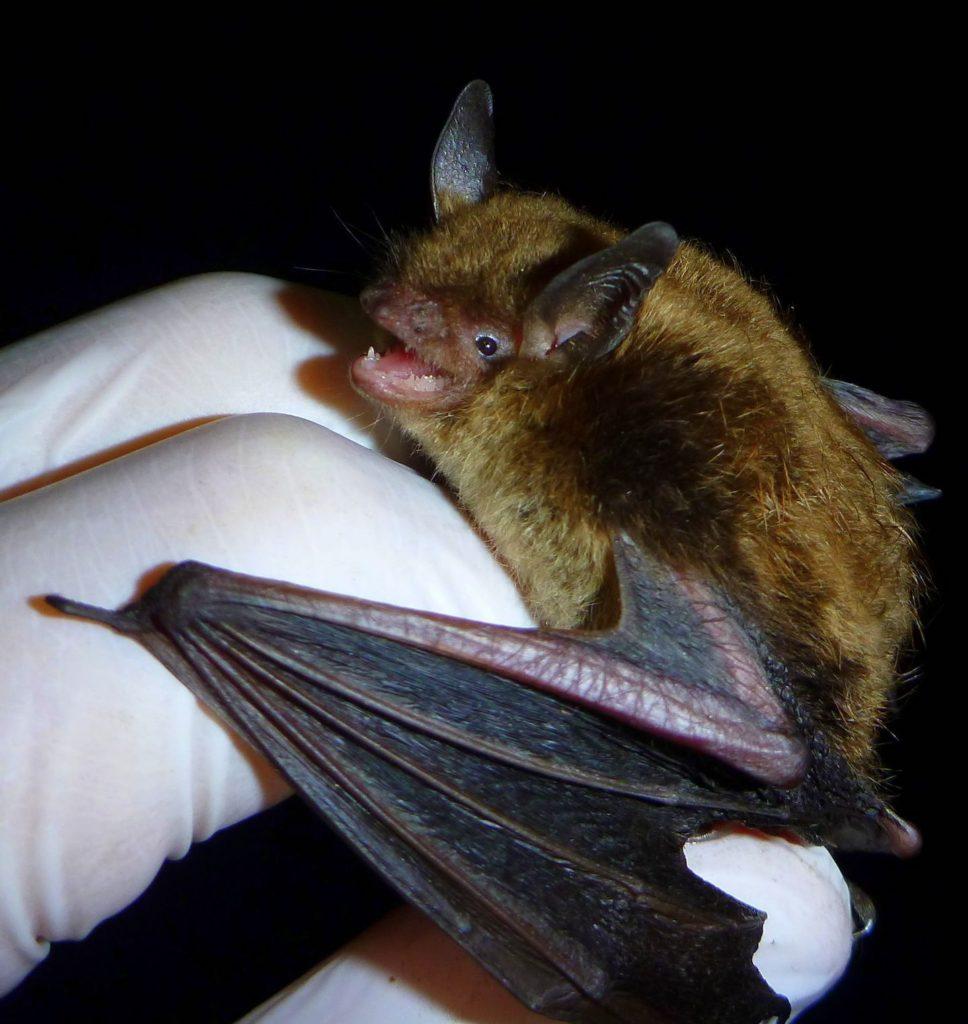Little brown bat are common backyard mammals