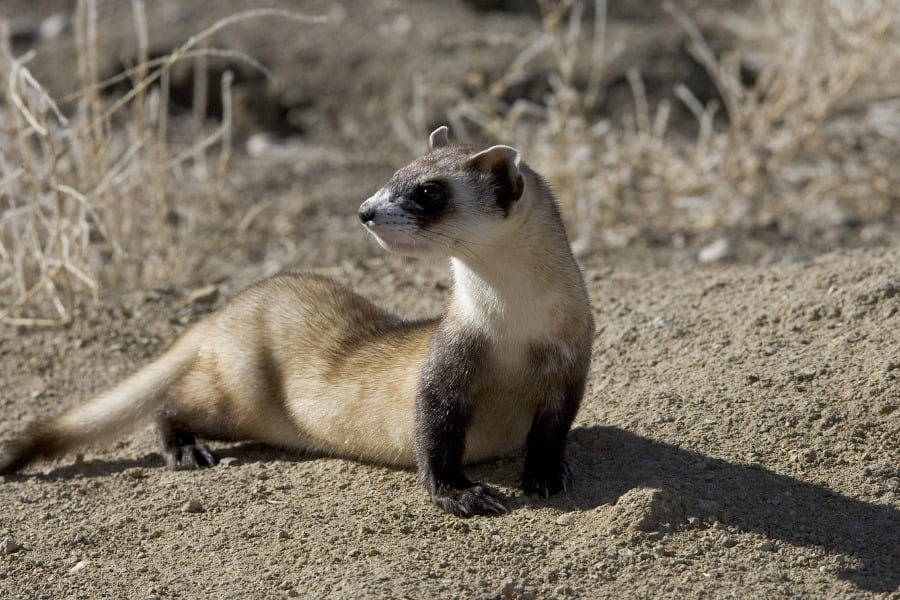 One of the ways that ethical zoos help conserve animals in the wild is through species reintroduction program. Zoo captive breed animals like this black-footed ferret to make sure the species does not become extinct.