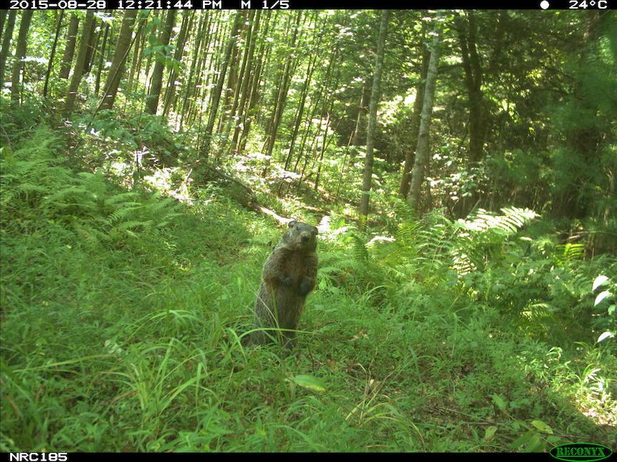 Groundhog in Asheville, North Carolina