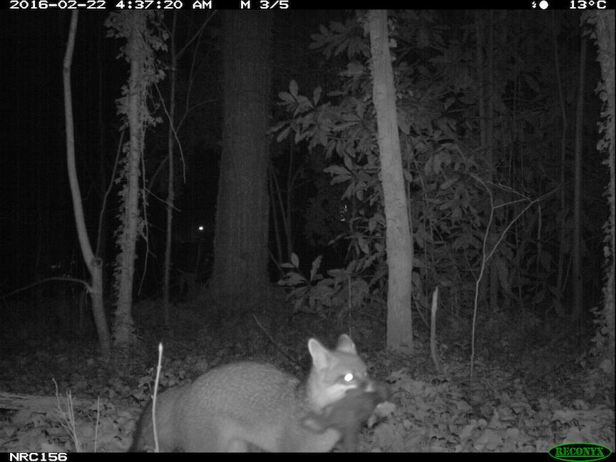Grey fox with prey