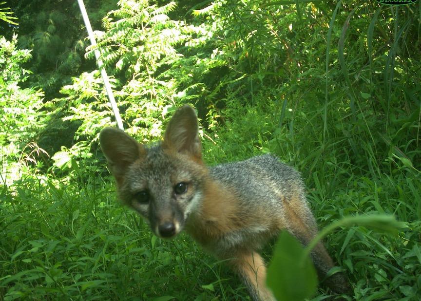 Grey foxes are common backyard mammals