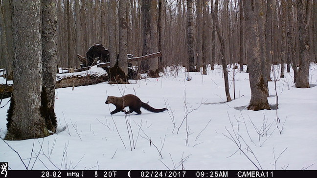 Fishers are common backyard mammals in New York