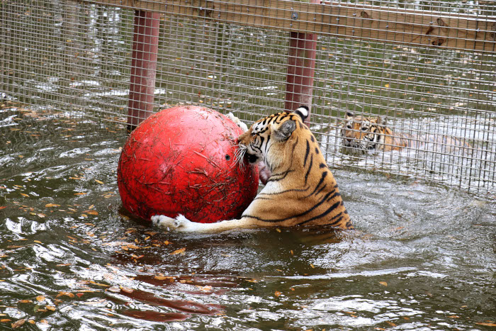 Big Cat Rescue gives their cats enrichment like this ball.