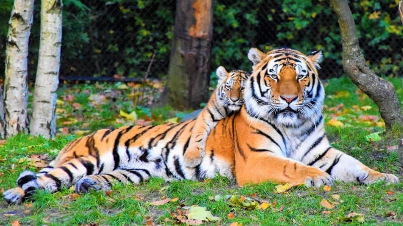 tiger cub with mom