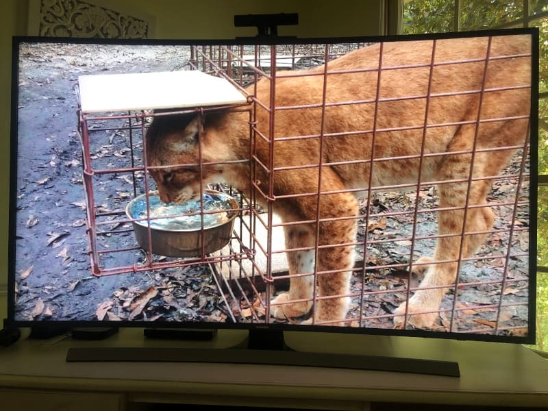 Joe Exotic incorrectly called this cat from Big Cat Rescue a mountain lion. It's either a bobcat or a Siberian lynx.
