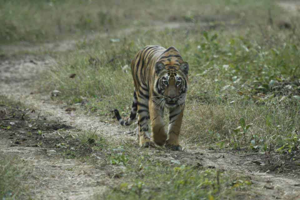 Tiger from Tadoba National Park