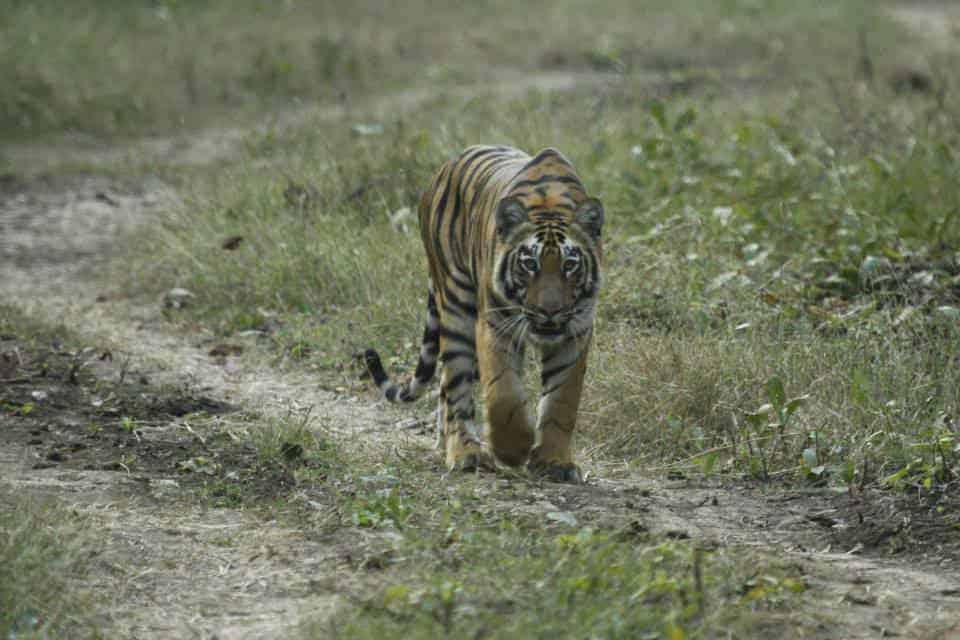 Tiger from Tadoba National Park