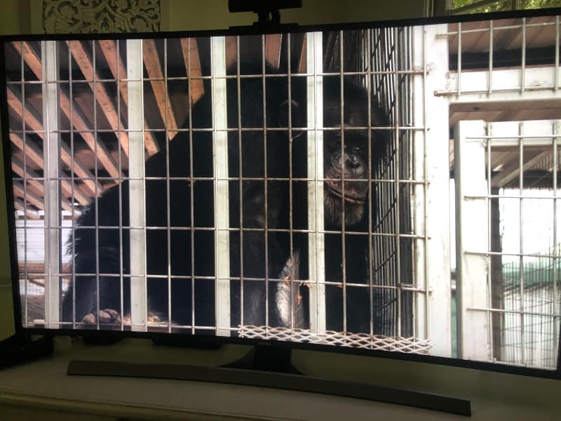 The chimpanzees were one of the saddest parts of the Tiger King Zoo to me. They were in small cages and separated.