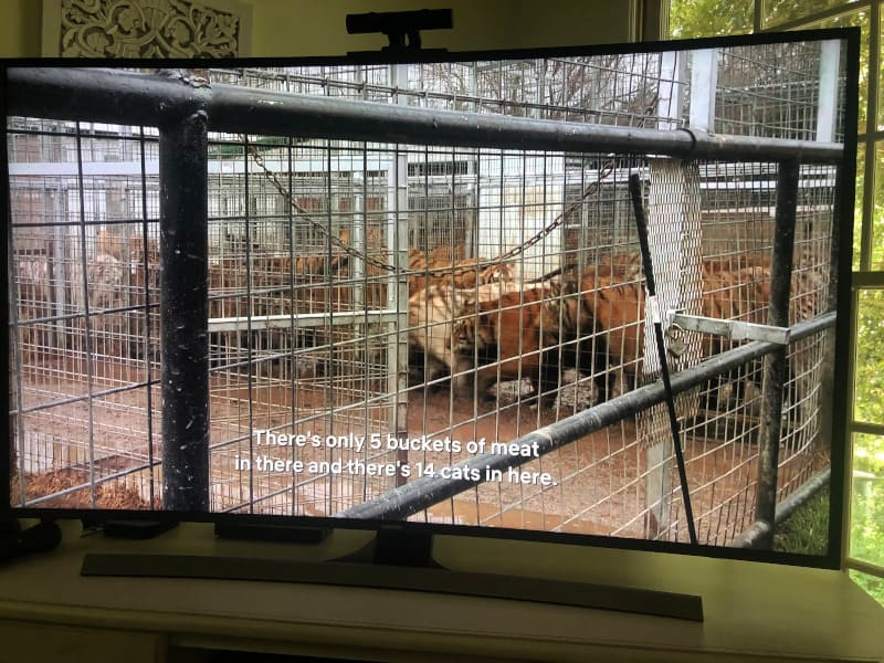Way too many tigers for one cage at the Tiger King Zoo.