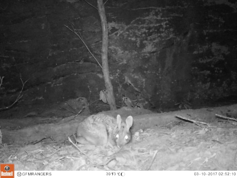 You can tell the Appalachian cottontail from the Eastern cottontail by the dark spot in between its ears.