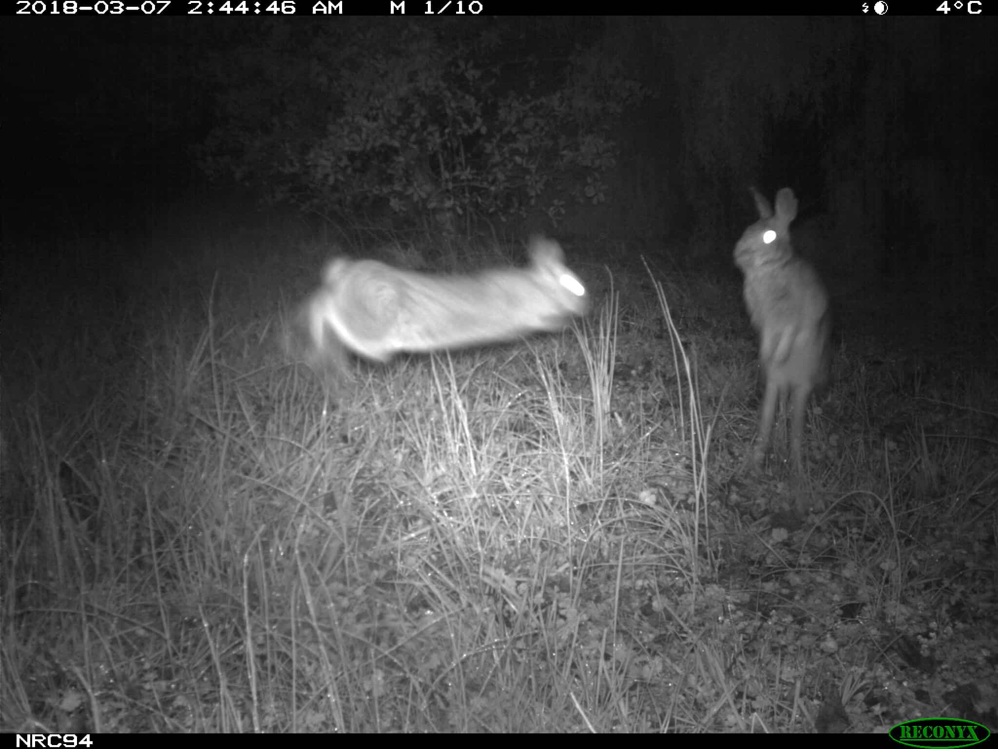 Male Eastern cottontails fighting.