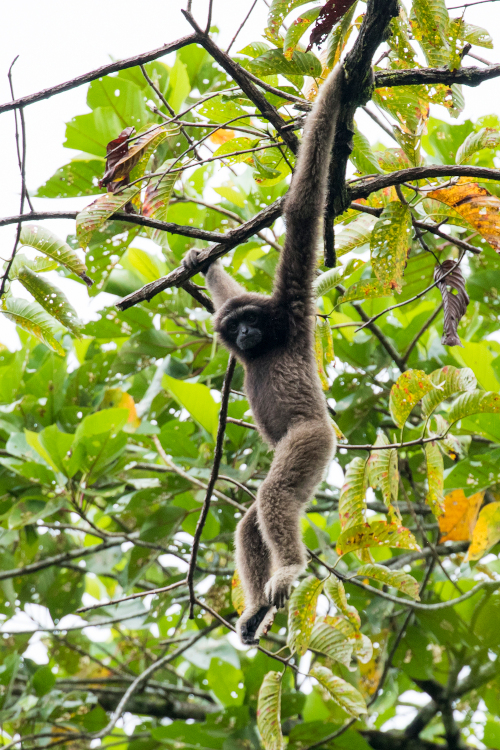 North Borneo gibbon by hokoonwong in iNaturalist.