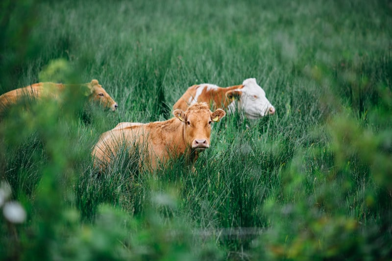 If you are going to eat meat, it's much better to buy meat from pasture-raised animals. They actually spend time outdoors foraging for food.