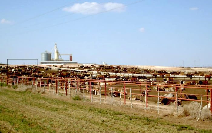 People envision cows in green pastures, but most cows are fattened up in feedlots like this one.