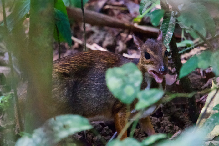 Greater mouse-deer.