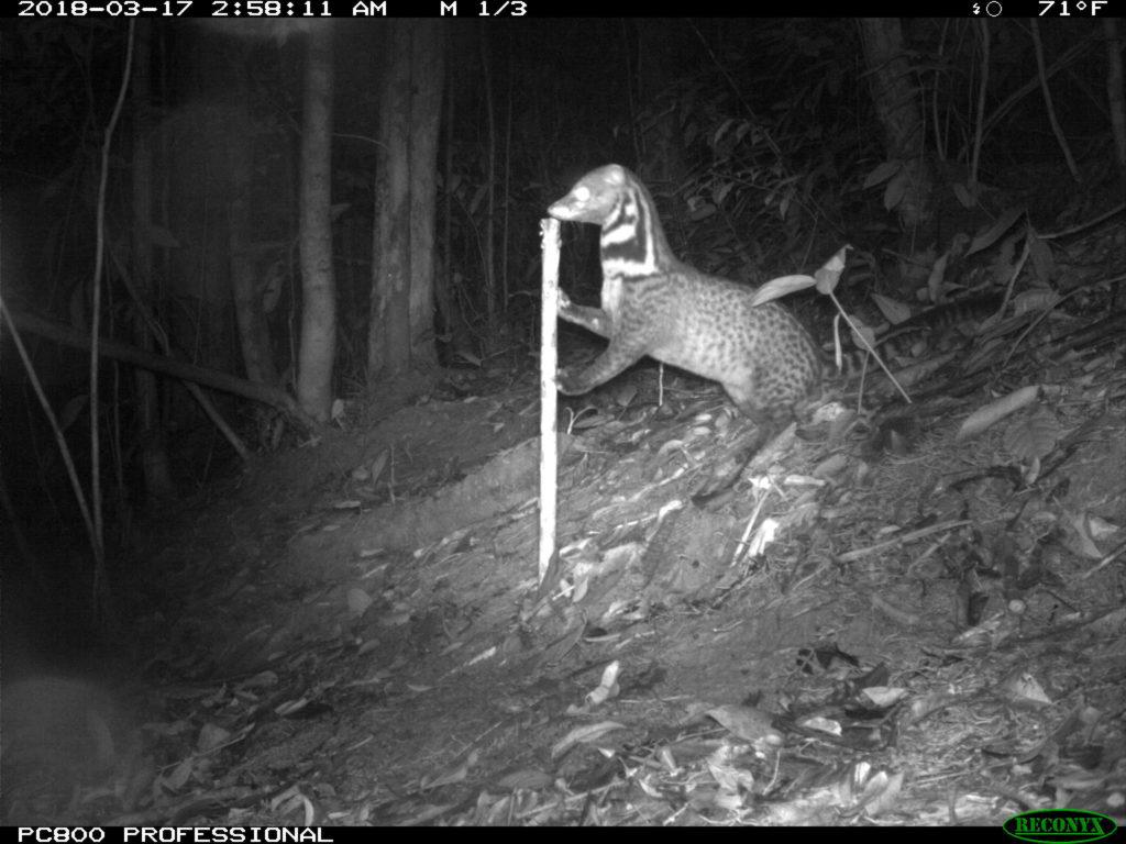 Camera trap image of a Malay civet in Borneo.