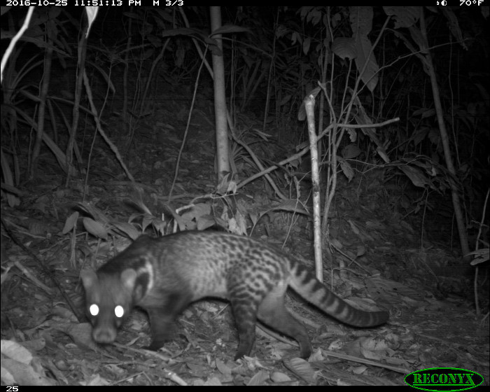 Camera trap image of a Malay civet in Borneo.
