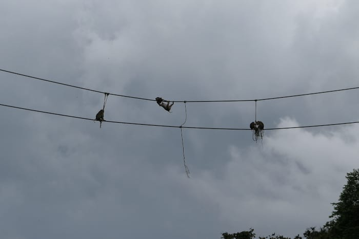 Close up of the pig-tailed macaques hanging above.