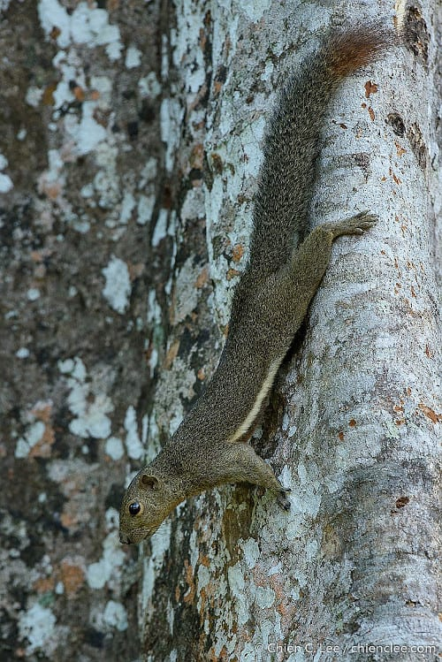Plaintain squirrel. Photo by Chien Lee on iNaturalist.