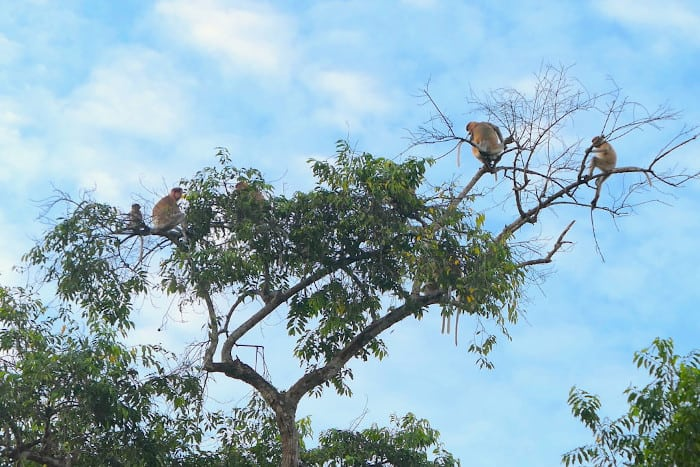 It's so easy to see lots of proboscis monkeys on the Kinabatangan River.