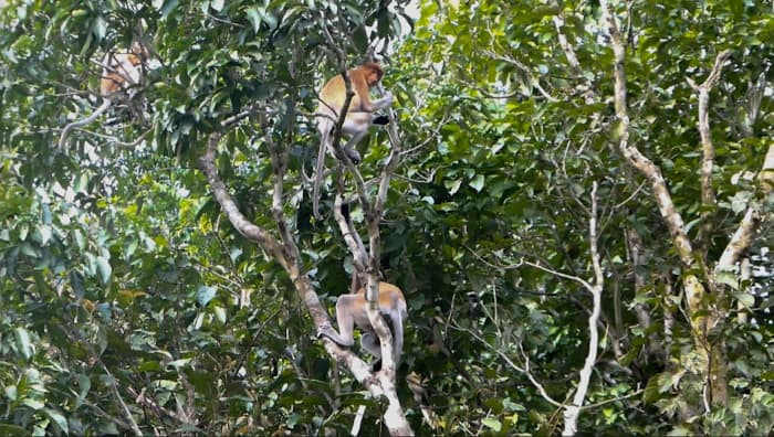 Proboscis monkeys near the Kinabatangan River.