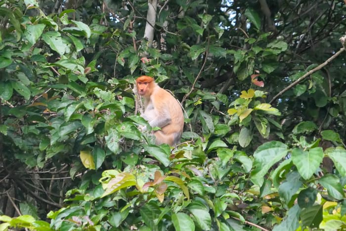 Proboscis monkey I saw on the Kinabatangan River.