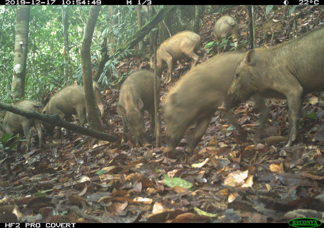Bearded pigs scurrying around the forest in Borneo.