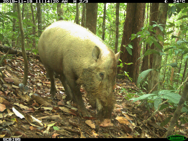 Lovely camera trap photo of a bearded pig.