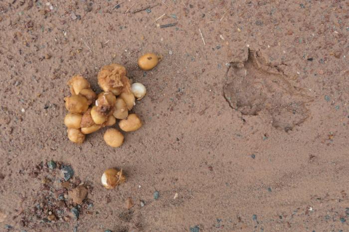 civet poop in Deramakot