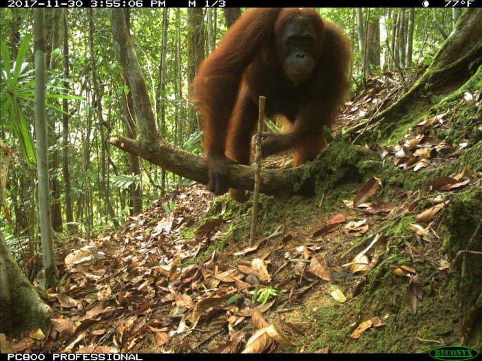 Orangutan camera trap photo from eMammal's Smithsonian Borneo Mammal Survey at LEWS Project.