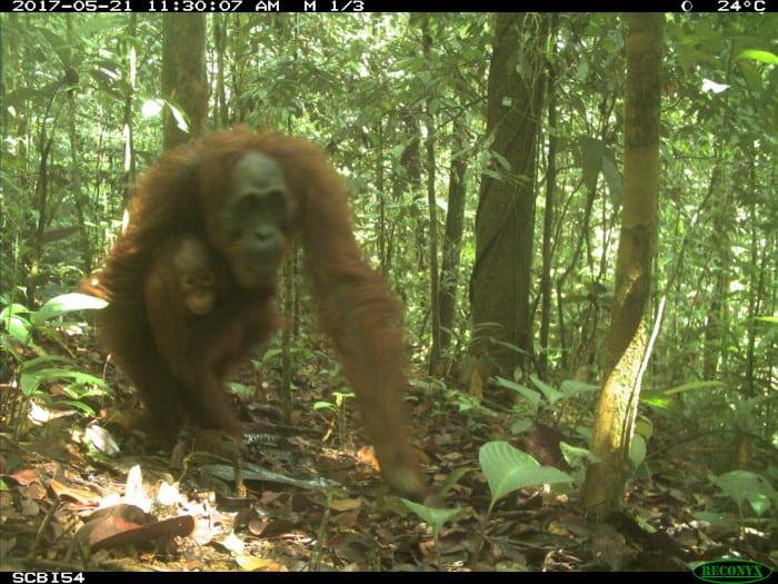 Bornean orangutan on an eMammal camera trap.