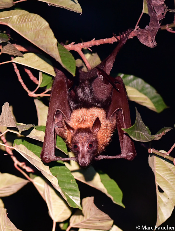 We saw a large flying fox in Deramakot, but I couldn't get a good photo.