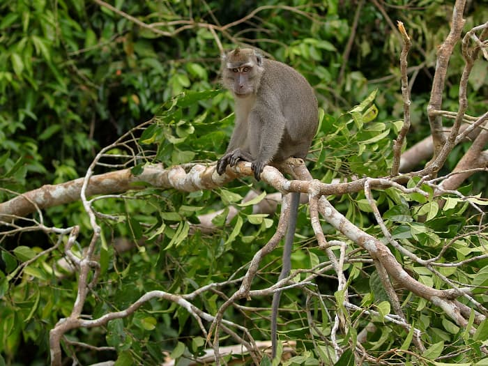 Long-tailed macaque.