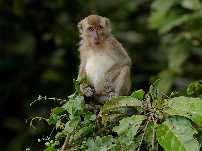 Long-tailed macaque. Photo by Attila Steiner from iNaturalist.