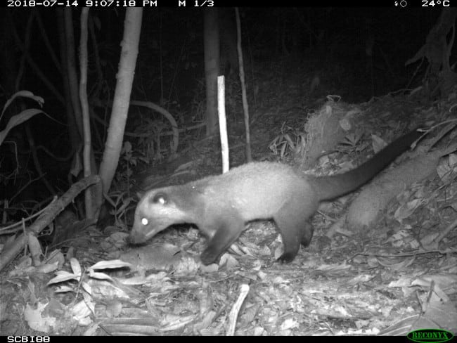 A better photo of a masked palm civet caught on a camera trap.