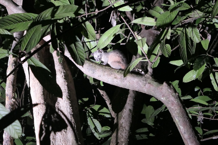 We saw this palm civet in a different location in Borneo, but we saw several palm civets in Deramakot.