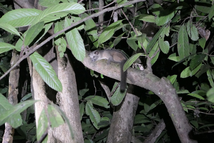 We saw this palm civet near the Kinabatangan River in Borneo, but we saw several palm civets in Deramakot.
