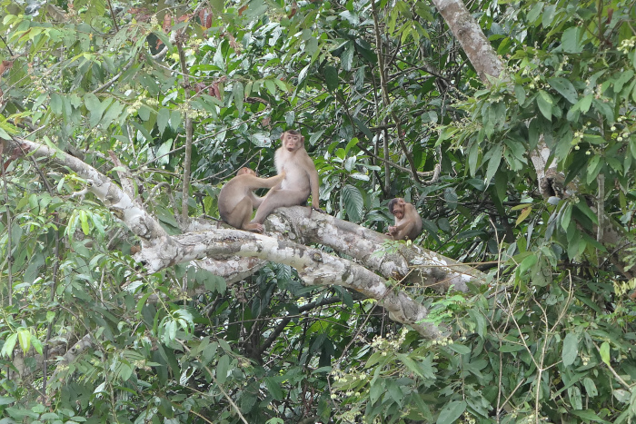 A group of Pig-tailed macaques near the Kinabatangan River in Borneo. I didn't get good photos of one in Deramakot.