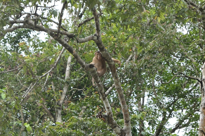 Pig-tailed macaque near the Kinabatangan River in Borneo. I didn't get good photos of one in Deramakot.