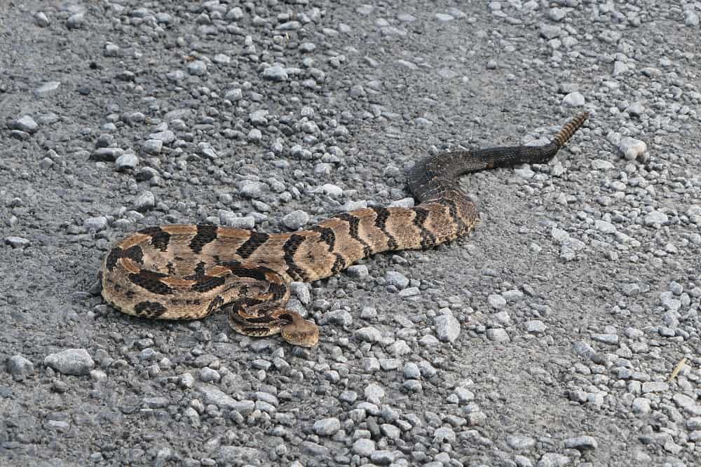 See a snake? First identify it. If it's venomous, still leave it alone. I saw this gorgeous timber rattlesnake Alligator River National Refuge in eastern NC.