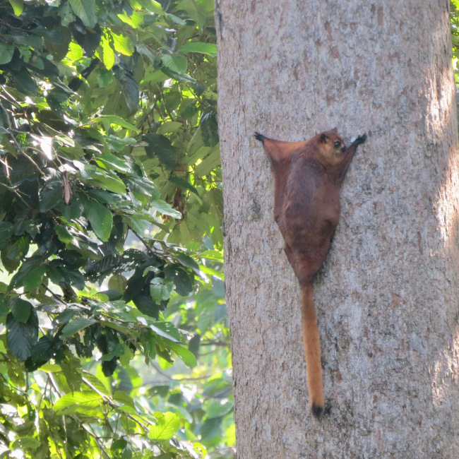 It was so incredible to see the red giant flying squirrel.