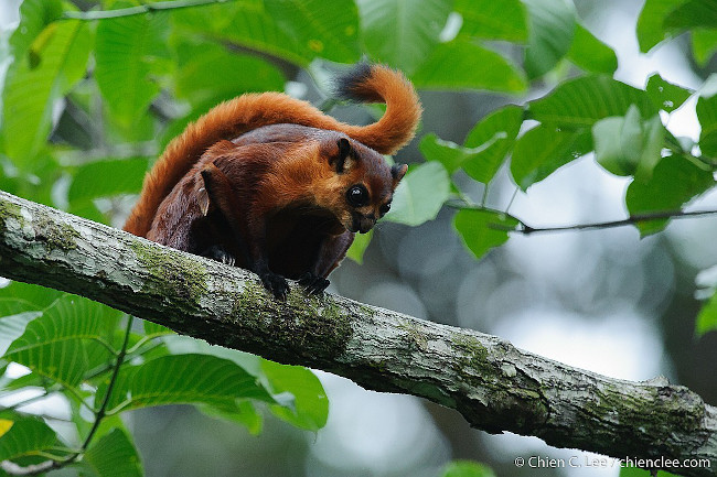 The red giant flying squirrel is the perfect name for this animal