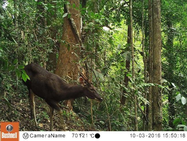A better photo of a sambar deer from a camera trap.