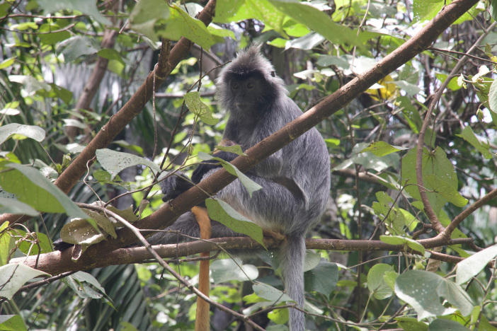 Silvered leaf monkey with baby. Note the baby is orange.