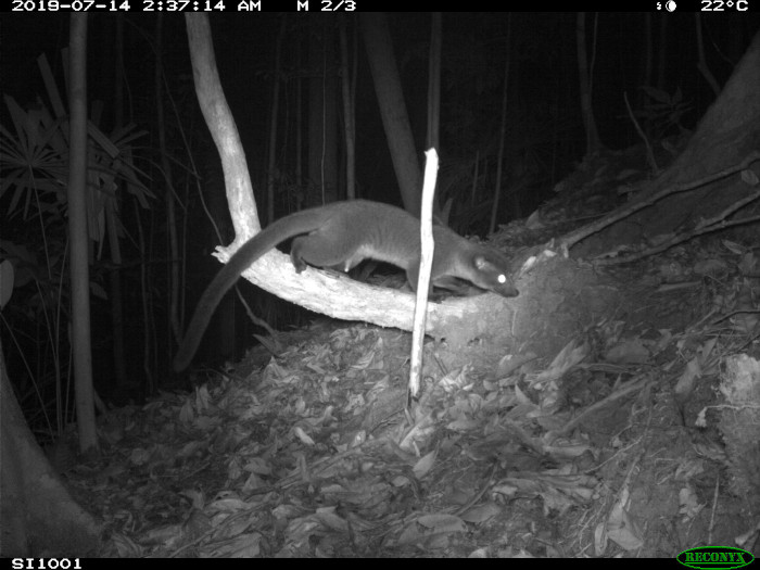 Camera trap photo of small-toothed palm civet.