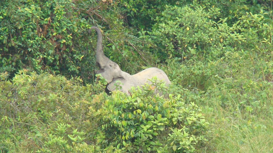 Has poaching decreased for all elephants? Forest elephants are still vulnerable.