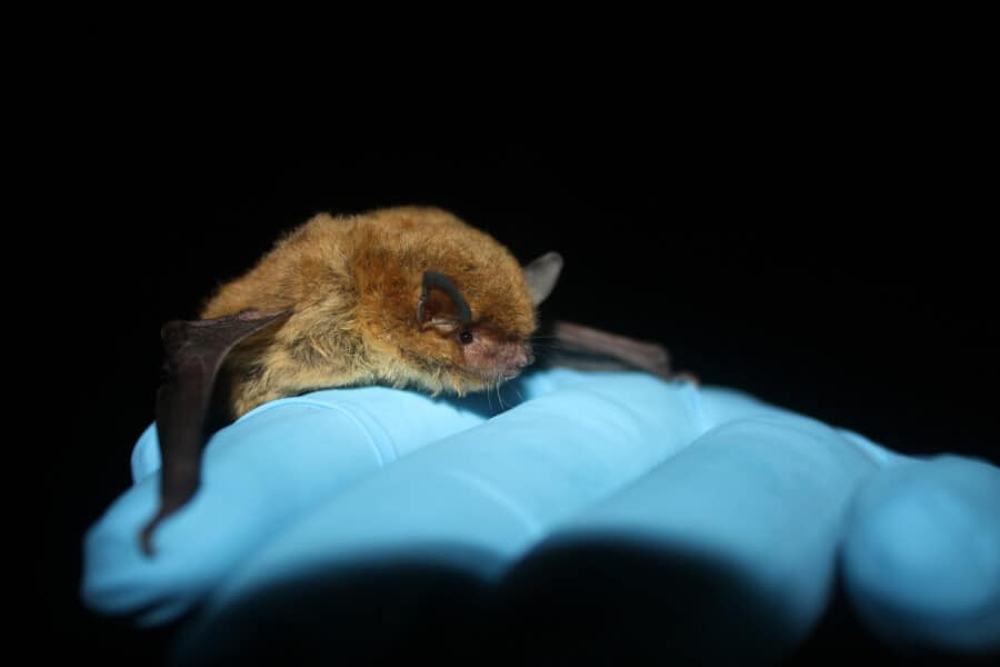 Southeastern Myotis bat. Photo by Jack Grider.