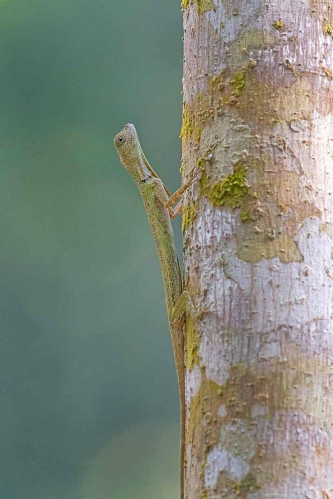 A closeup picture of a draco lizard