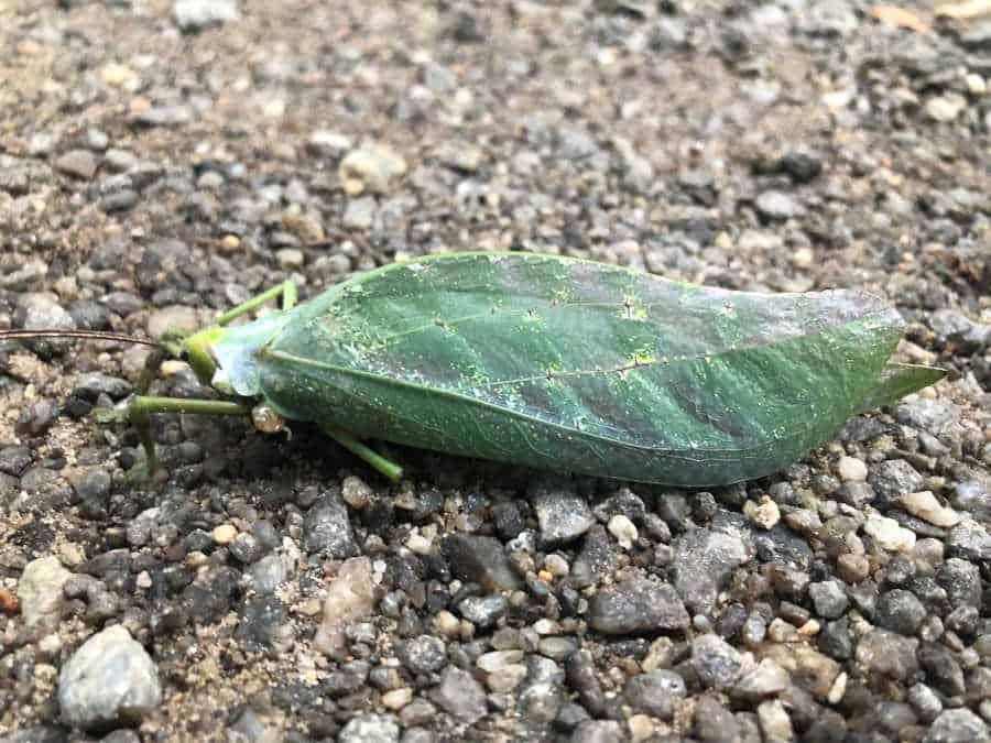 Dead katydid
