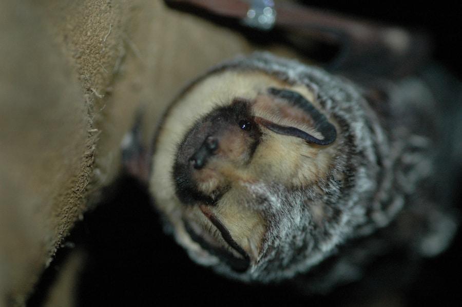 Hoary bat. Isn't it cute?
